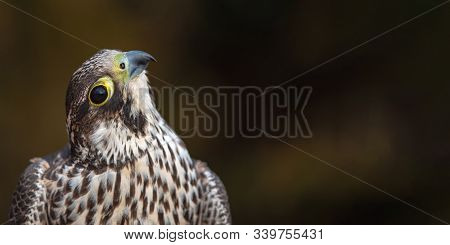 Portrait Of The Peregrine Falcon, Falco Peregrinus. With Copy Space. These Birds Are The Fastest Ani