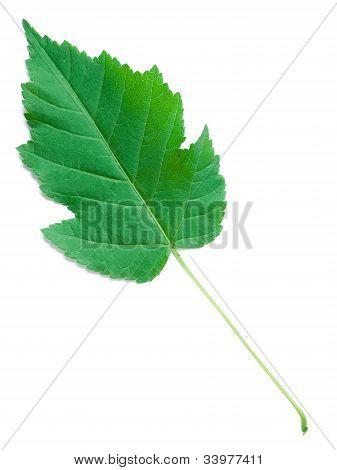A Leaf Of A Physocarpus Opulifolius