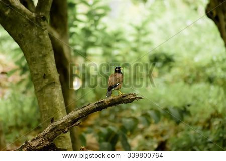Common Myna Or Indian Mynah (acridotheres Tristis Of Sturnidae Starlings Bird Family) Spotted In A F