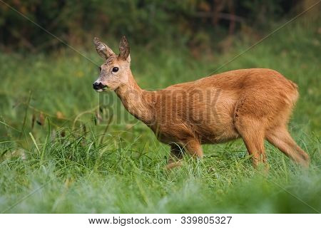 Watchful Roe Deer Female Eating Grass While Grazing On The Green Meadow