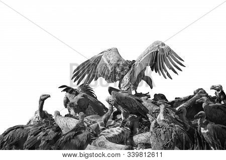 Group Of White Backed Vultures Scavenging A Dead Giraffe In Kruger National Park, South Africa ; Spe