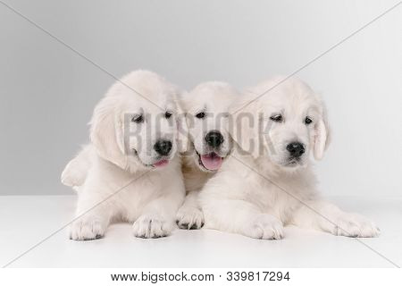 English Cream Golden Retrievers Posing. Cute Playful Doggies Or Purebred Pets Looks Playful And Cute