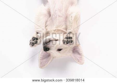 Child. Top View Of English Cream Golden Retriever Playing. Cute Playful Doggy Or Purebred Pet Looks