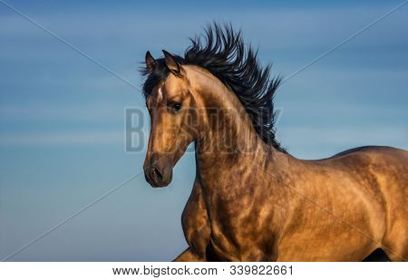 Portrait of light bay Andalusian horse against blue sky.
