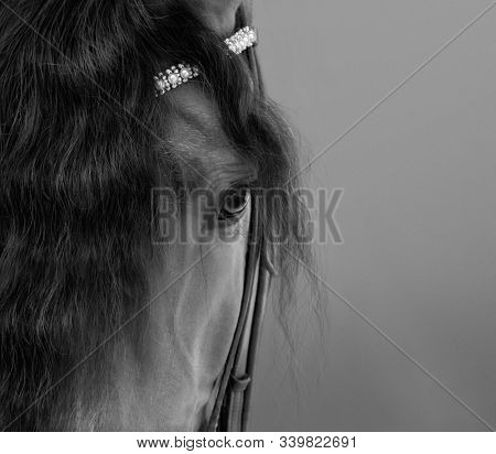 Andalusian horse with long forelock. Black and white portrait close up.
