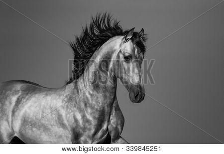 Black and white young Andalusian horse in motion. Horizontal photo with space for text.