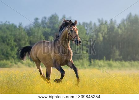 Golden bay Andalusian horse galloping across summer blooming meadow. Beautiful rural landscape.