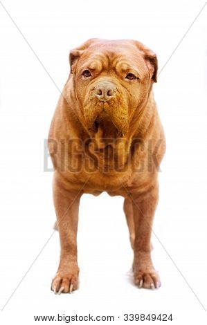 Adult Red Dog Breed Dogue De Bordeaux Stands Frontally In The Frame On A White Background Isolates