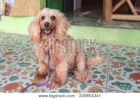 An Untrimmed, Unkempt Apricot-colored Dwarf Poodle Sits And Waits For Its Owner. Carefully Look. Clo