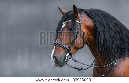 Portrait of Andalusian bay horse with long mane in bridle on gray background with space for text.