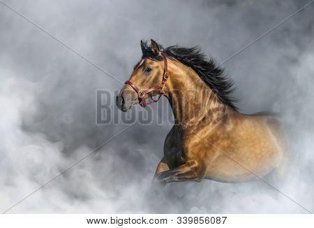 Light bay Andalusian horse in halter in light smoke with space for text.