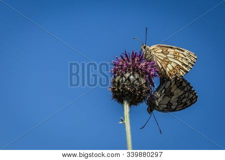 A Couple Of Marbled White Butterflies Copulating On Purple Knapweed Flower On A Summer Sunny Day. Br