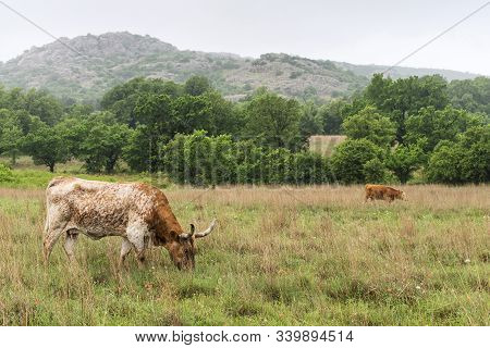 Texas Longhorn At Wichita Mountains National Wildlife Refuge Near Lawton, Oklahoma