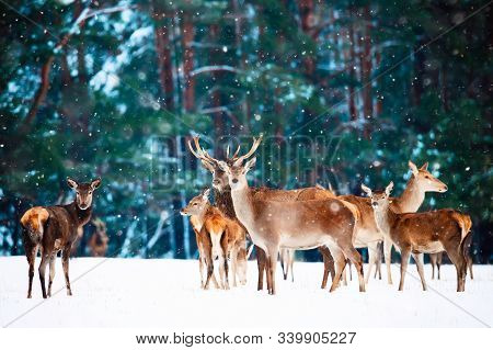 Artistic Winter Christmas Natural Image. Winter Wildlife Landscape With Noble Deers Against Winter F