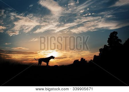 Hungarian Vizsla Dog Silhouette Standing Outdoors At Sunset