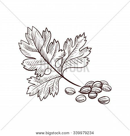 Vector Drawing Coriander Leaf And Seeds, Hand Drawn Illustration