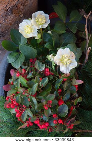 Decorative Winter Flowers And Plants In A Pot, White Helleborus And Gaultheria With Red Berries