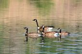 Three Canada geese swimming on a lake poster