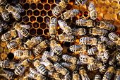 Macro shot of bees swarming on a honeycomb poster