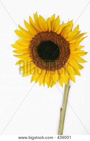 Isolated Sunflower With Copyspace