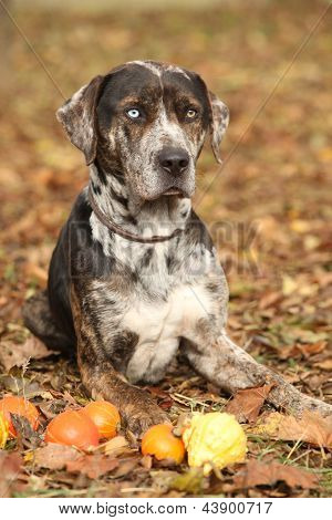 Louisiana Catahoula Dog With Small Pumpkins In Autumn