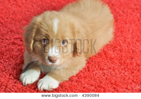 Nova Scotia Duck Toller Puppy