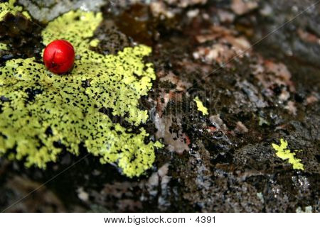 Red Berry On Green Lichen