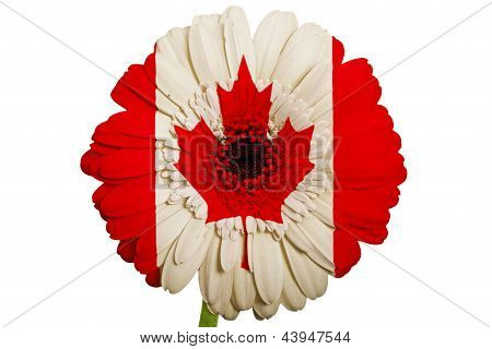 Gerbera Daisy Flower In Colors National Flag Of Canada    On White Background As Concept And Symbol