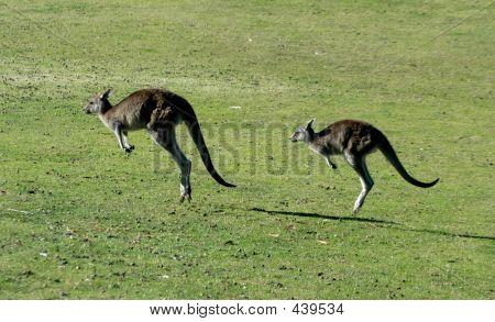 Kangaroos Jumping