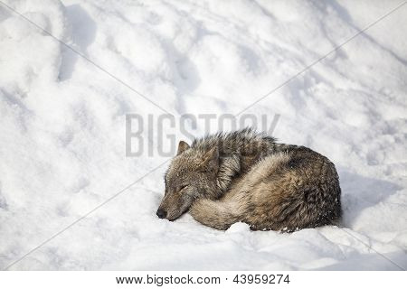Wolf Sleep On Snow