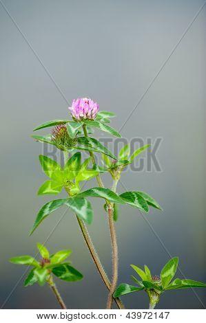 Purple Trifoil Clover Flower
