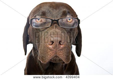 Clever Labrador