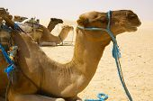 few camels resting on sand in African desert horizontal poster