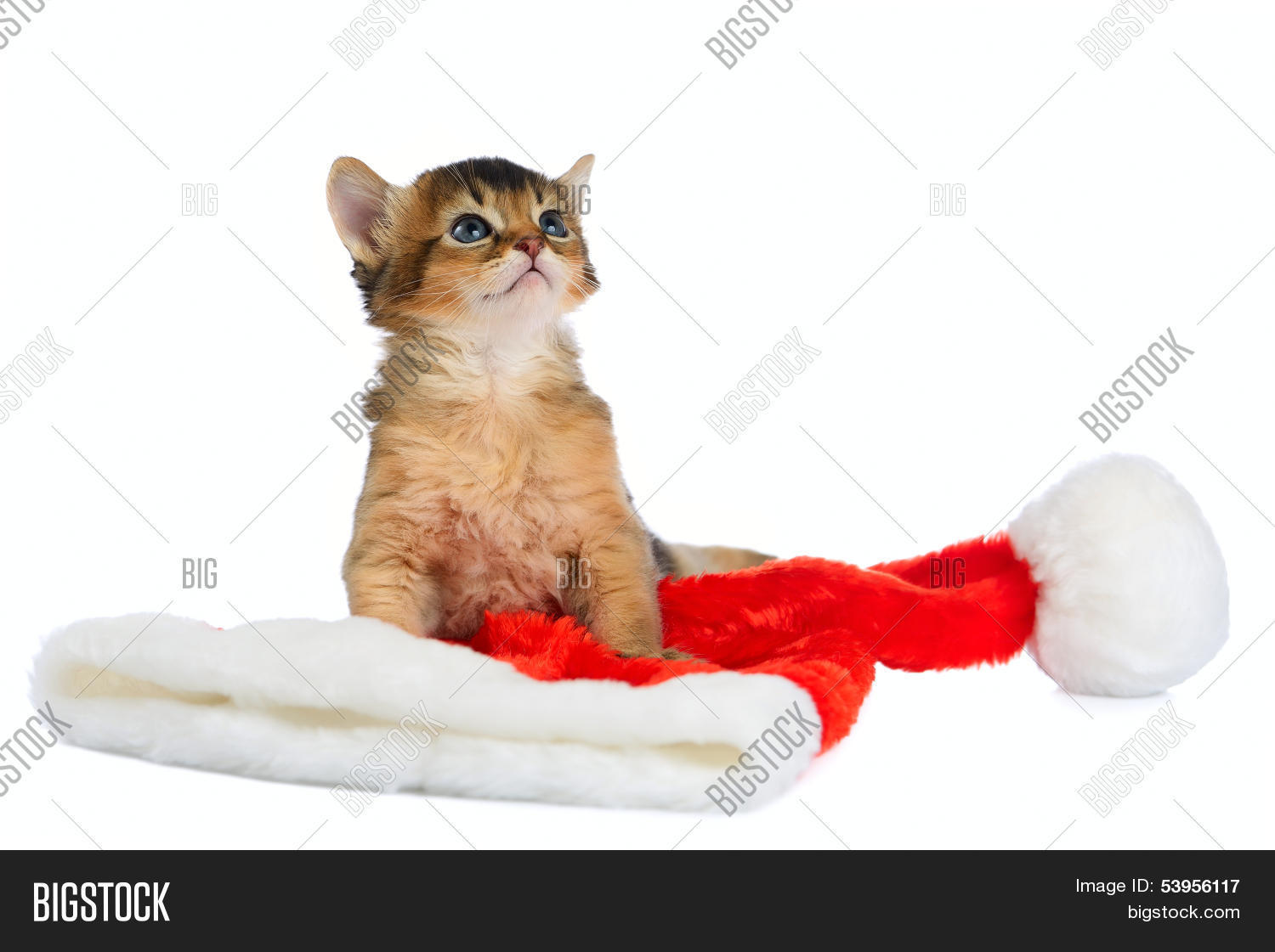 merry christmas cat with santa hat on white - Merry Christmas Cat