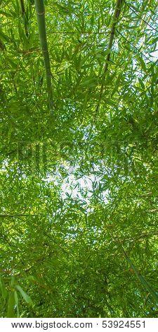 Bamboo Plants - Panorama