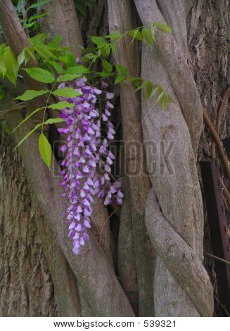 Wisteria Flower And Vines