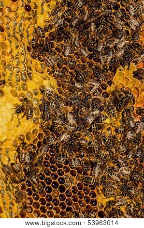 Bees Work On Honeycomb