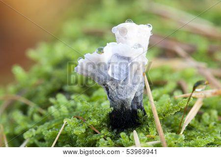 candle-snuff fungus - macro shot