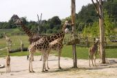 Giraffes in zoo outdoor pen a group poster