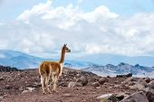 Vicuna (Vicugna vicugna) or vicugna is wild South American camelid which live in the high alpine areas of the Andes. It is a relative of the llama. Andes of central Ecuador poster
