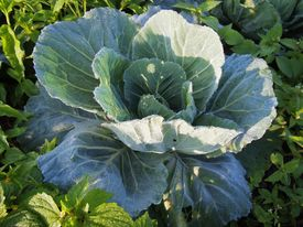 Fresh Cabbage On Organic Agriculture