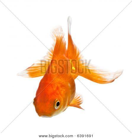 Goldfish Isolated On White
