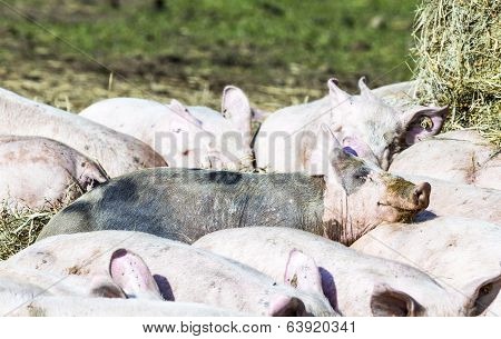 flock of pigs in a bio farm in Usedom poster
