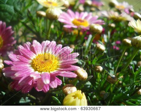 Pink and White Mums