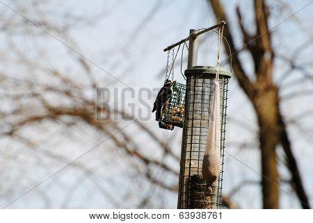 Hairy Woodpecker Feeding On Suet
