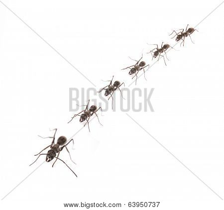 A line of worker ants