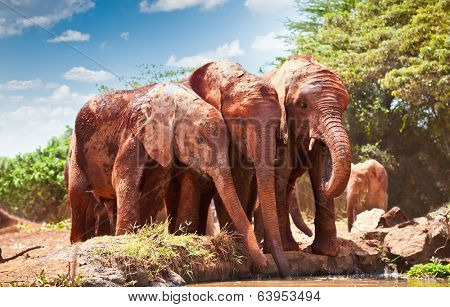 Elephants at the small watering hole in Kenya. Afrika.