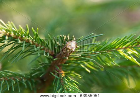 Pitch on fir tree close up view poster