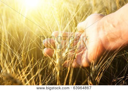 Female Hand Wins The Ears Of Wheat.  The Sunset.
