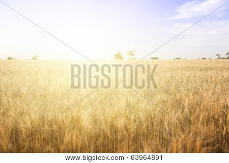 Wheat Field On A Sunny Day.